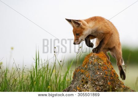 Baby Fox. Young Red Fox On The Stone Near His Hole.