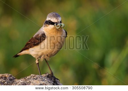 Portrait Of The Northern Wheatear (oenanthe Oenanthe) With Prey.