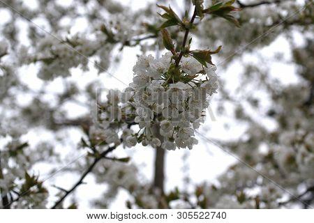 Flower Cherry Tree Cerasus Rosaceae On Ehite Background