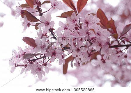 Flower Cherry Tree Cerasus Rosaceae On White Background