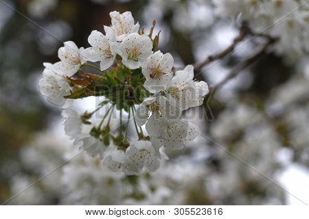 Flower Cherry Tree Cerasus Rosaceae Spring Time