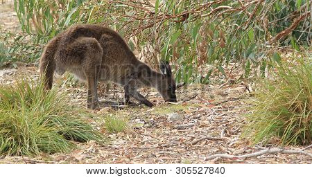 View Of A Red Kangaroo, Macropus Rufus, Grazing