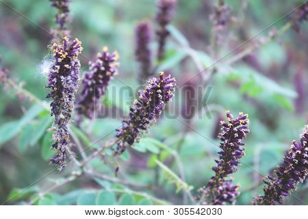 Acacia Flowers. Violet Flowers Like Candles, Shaggy Flower Buds. Flowers In The Trees. Closeup Flowe