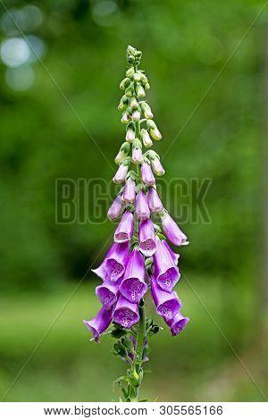 Wild Flower Purpurea Digitalis Plantaginaceae Family Macro Background High Quality Prints