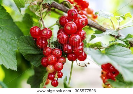 Red Currant Grows On A Bush In Garden. Ripe Red Currant Close-up As Background. Harvest The Ripe Ber