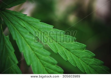 Cannabis Leaf Marijuana Plant Tree Growing On Dark Background / Hemp Leaves For Cbd Extract Medical