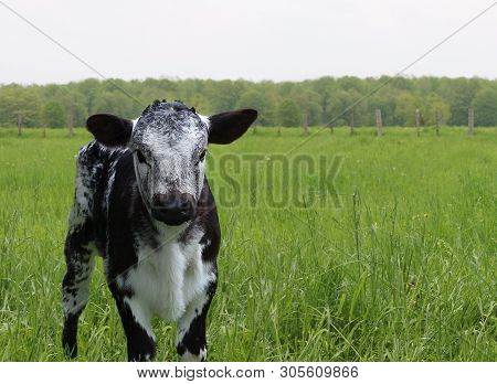 Young Black And White Mottled Roan Calf Isolated In Field Looking At Camera