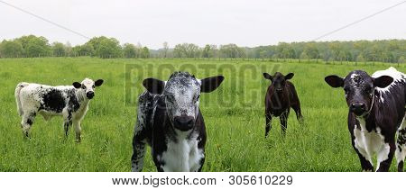 Group Of Young Black And White Mottled And Speckled Roan Calves In The Pasture