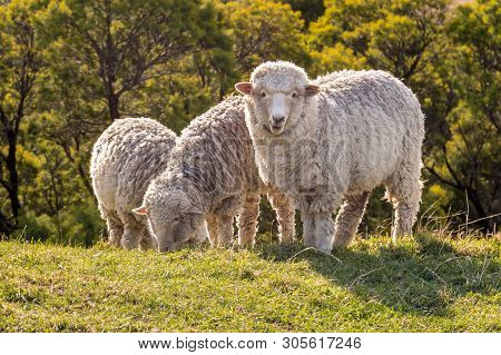 Flock Of Merino Sheep Grazing On Meadow At Sunset