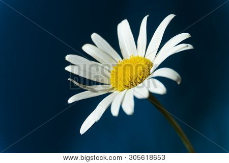 Flowering Of Daisies. Oxeye Daisy, Moon Daisy