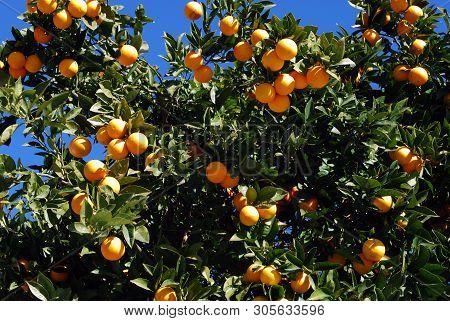 Ripe Seville Oranges On A Tree Against A Blue Sky, Riviera Del Sol, Costa Del Sol, Malaga Province,