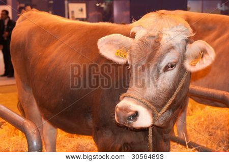Paris - February 26: Jersiaise Cow At The Paris International Agricultural Show 2012 On February 26,