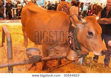 Paris - February 26: Tarentaise Cow (2) At The Paris International Agricultural Show 2012 On Februar