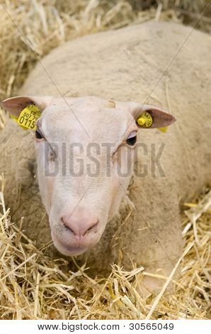 Paris - February 26: Sheep In The Straw At The Paris International Agricultural Show 2012 On Februar