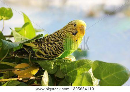 Melopsittacus Undulatus. Green Wavy Parrot. Beautiful Budgerigar