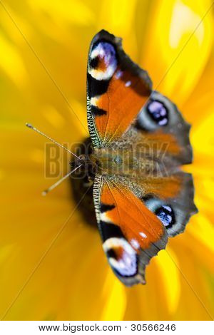 European Peacock butterfly (Inachis io) on rudbeckia flower