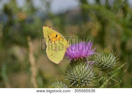 Portrait Of Yellow  Butterfly On A Purple Flower In The Mountains Of Galicia. Fence Of Valleys. Pine