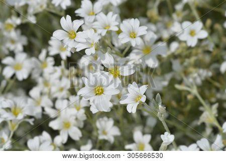 Boreal Chickweed Flowers - Latin Name - Cerastium Biebersteinii
