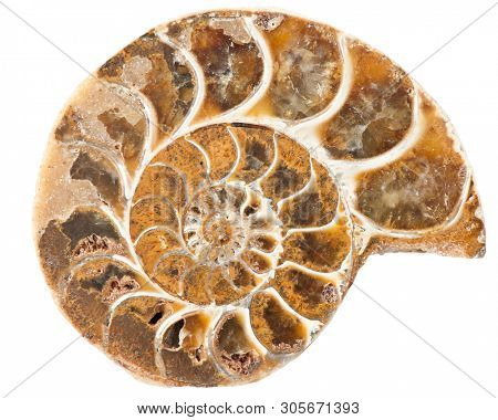 Ammonite is a prehistoric shell animal whoose spiral shell was fossilized into a solid mineral and is now a object of collecting - isolated on white background
