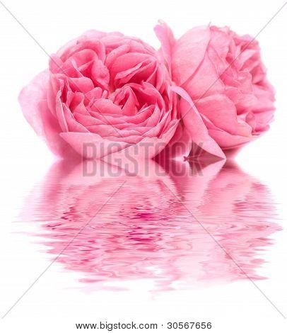 Fresh rose on a white background