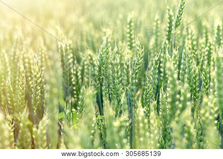Unripe Green Wheat Field (green Wheat Field) - Green Wheat Field Lit By Sunlight