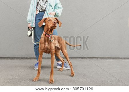 Closeup Photo Of Dog Breed Magyar Vizsla On A Leash Against The Background Of A Womans Owner And A G