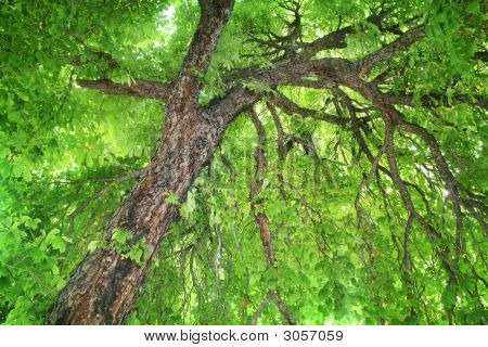 Stately Old Chestnut Tree