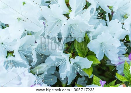 A Close-up Shot Of Delicate White Blossoms.