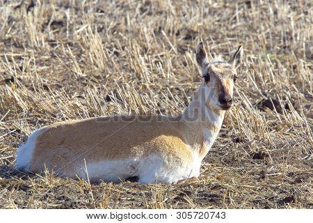 Pronghorn Antelope Prairie Laying In Farmers Field
