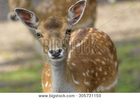 Sika Deer (cervus Nippon) Also Known As The Spotted Deer Or The Japanese Deer. Close Up. Wildlife An