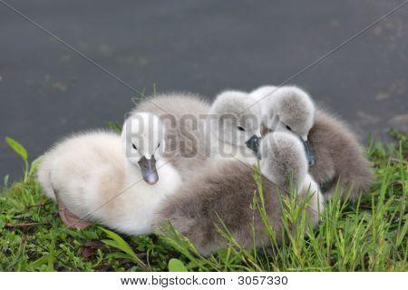 Swan Cygnets / Babies