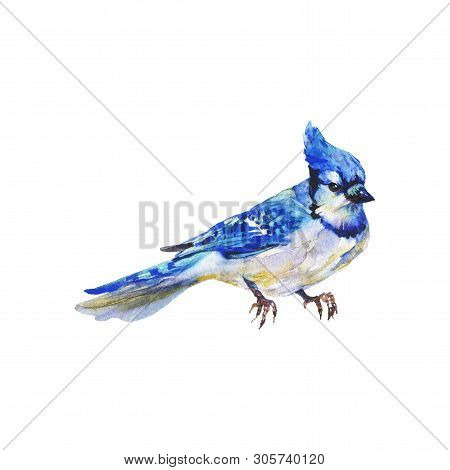 Watercolor blue jay. Hand drawn bird on white background. Painting ornithological illustration poster