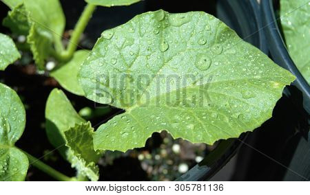 Close Up Of Water On Green Leaf Plant