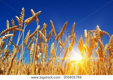 Wheat and sun in the sky