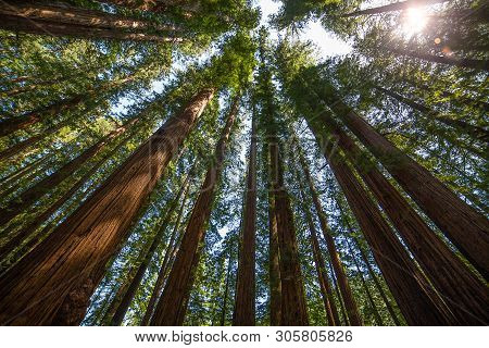 Looking Up Into The Tall Redwoods In Redwoods State Park California