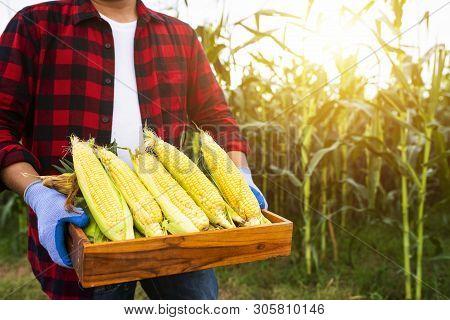 Harvesting Maize, Farmer, Corn, Corn Harvesting, Corn Planting, Organic Farmingfarmer Holding Corn G
