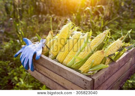 Corn Harvest Corn Farmer Corn Harvest Growing Corn Organic Farming, Organic Farming, Food And Vegeta
