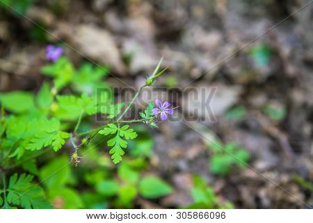 The Geranium Robertianum (stinking Bob) Plant Blooming