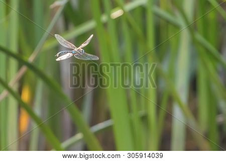 Blue Emperor Dragonfly Hovering In Flight (anax Imperator)