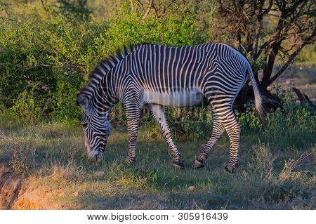 Isolated Zebra Walking In The Savannah Of Samburu Park In Central Kenya