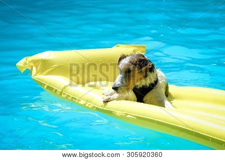 Fox Terrier Dog Floating On A Yellow Mattress In A Swimming Pool In The Sun