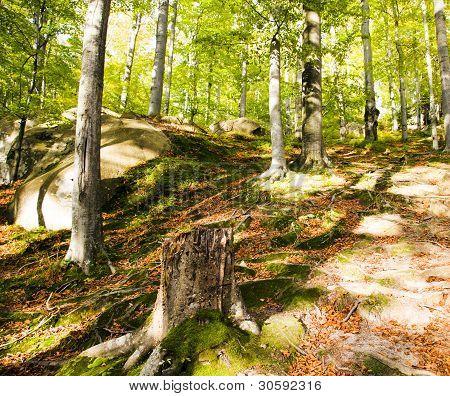 Beechen wood (autumn)