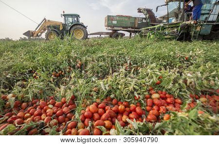 Badajoz, Spain - August 23th, 2018: Self-propelled Tomato Harvester Work In Parallel With Tractor Tr