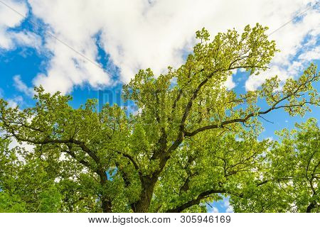 A Huge, Majestic Oak Tree Photographed From The Bottom Up In The Summer Against The Blue Sky