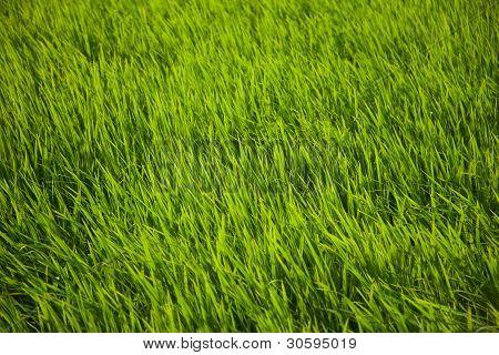 Reis-Gras