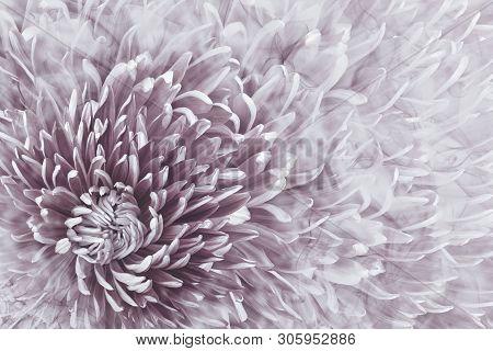 Floral Halftone Light Bordo Background. Flower And Petals Of Bordo Aster Close Up.  Nature.