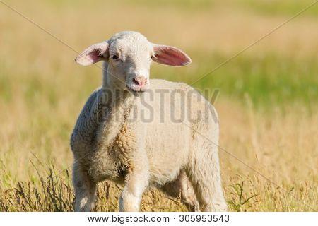Lamb Grazes In A Meadow, Lamb In A Field