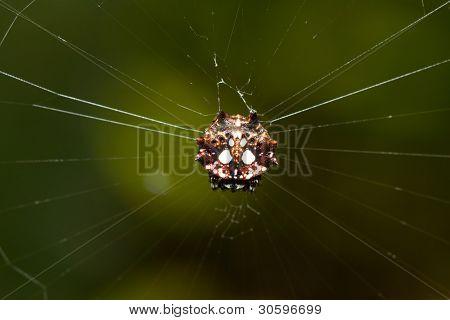 Spinybacked Orbweaver spider