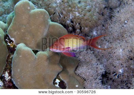 Lyretail anthias in the Red Sea.