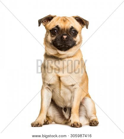 Chug dog is a Mixed-breed between a pug and a Chihuahua sitting against white background